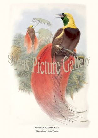 Birds of Paradise by R. Bowdler Sharpe (1891-98)